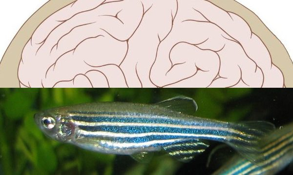 دیابت نوع 2 تاثیر دیابت نوع ۲ بر مغز 640humanzebrafish 600x359