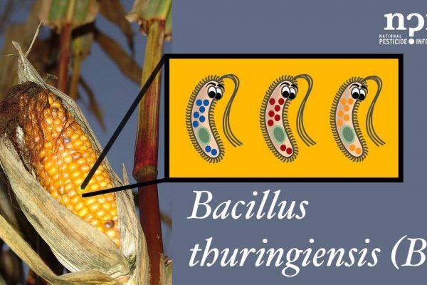 باکتری باسیلوس تورنجینسیس